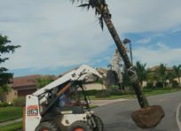 Bobcat installing Coconut Palm