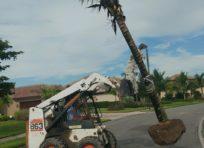 Image: Bobcat installing Coconut Palm - TLC Lawn, Naples FL Landscape contractor